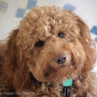 Close-up red goldendoodle dog's smiley face with head tilted and vintage quilt in background