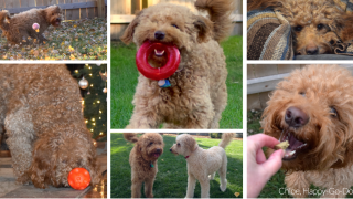 Collage of red goldendoodle dog fetching, playing, eating a treat, sleeping, rolling ball with nose