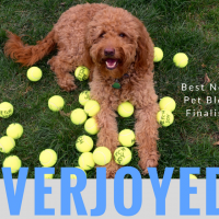 Happy red goldendoodle dog with dozens of yellow tennis balls and title overjoyed