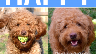 Collage of Happy-Go-Doodle, a red goldendoodle dog, with yellow tennis balls. Doodle has ball in mouth.