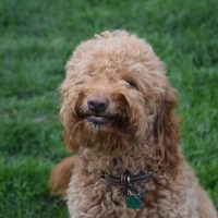 Red goldendoodle dog smiling; green grass in background