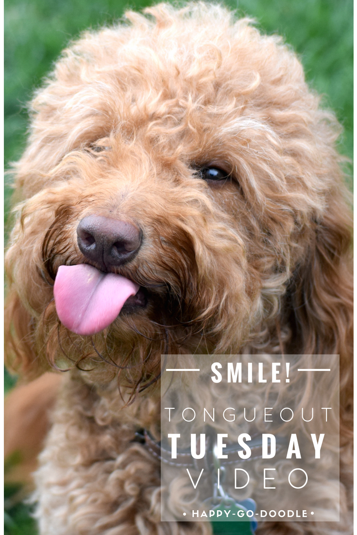 red goldendoodle dog with tongue sticking out and title happy tongue out tuesday video by happy go doodle