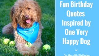 Red goldendoodle dog wearing a dog bandana and sitting on green grass with four dog balls and title