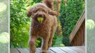Red goldendoodle dog prancing up stairs of deck with yellow dog ball that says