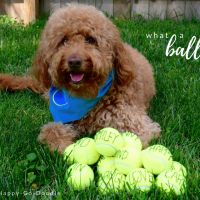 Red goldendoodle dog with blue dog bandana and tennis balls all on grass and title what a ball