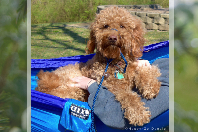 Red goldendoodle dog relaxing in blue hammock while family member's hands hold her