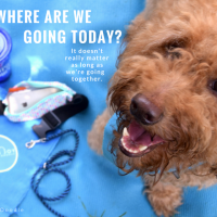 This red goldendoodle is smiling and asking