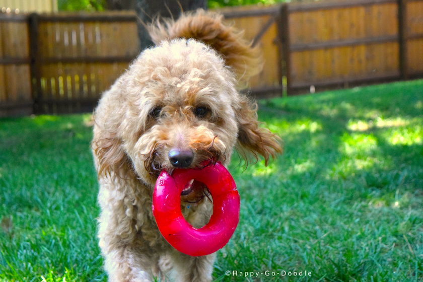 Red goldendoodle dog retrieving a bright red Kong toy in a green, grassy yard