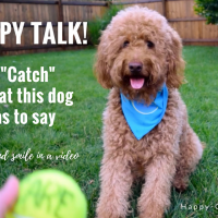 It's impossible not to smile as this happy goldendoodle dog sits waiting for tennis ball to be thrown. Red goldendoodle dog is wearing blue bandana and sitting on green grass. A yellow ball is held in front of her. Title says happy talk