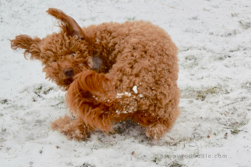 Red goldendoodle dog, Happy-Go-Doodle Chloe, chasing her tail in the snow with her floppy dog ears flying