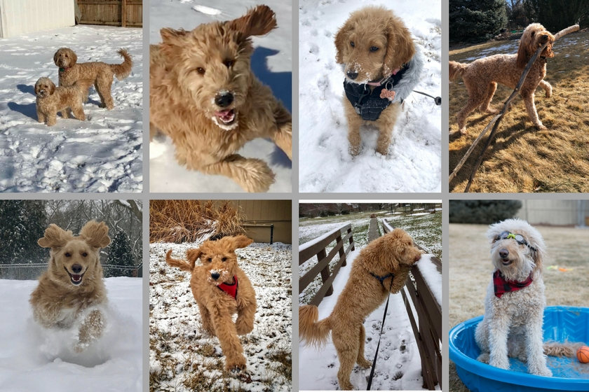 collage of 8 different Goldendoodle dogs playing in snow, photo