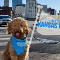 Red goldendoodle dog with tour guide flag that read