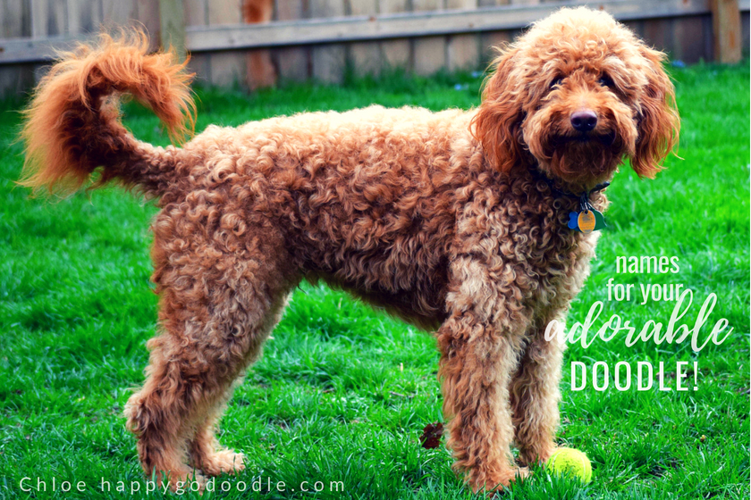 red goldendoodle dog standing on green grass and title adorable goldendoodle names