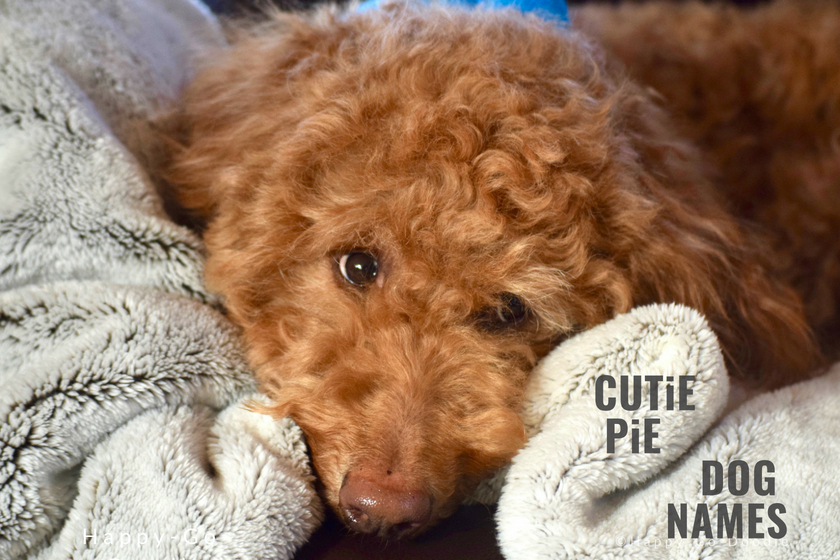 Red goldendoodle dog snuggled in blanket and title Cutie Pie Dog Names