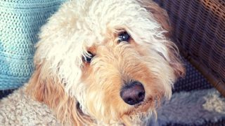 close-up of a cream-colored Goldendoodle's face, photo