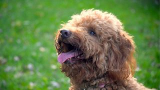 red goldendoodle face