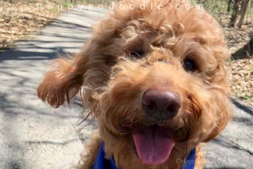my dog is my best friend and close-up photo of goldendoodle face, photo