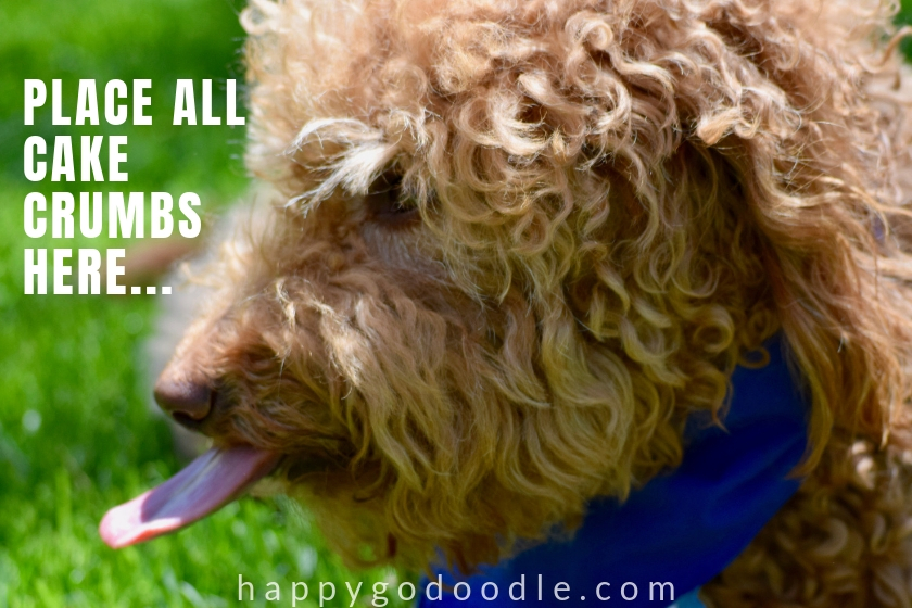 funny dog birthday meme of goldendoodle's tongue and caption place all cake crumbs here