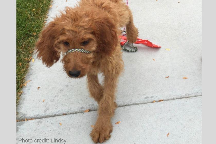 F1 Goldendoodle puppy walking on sidewalk