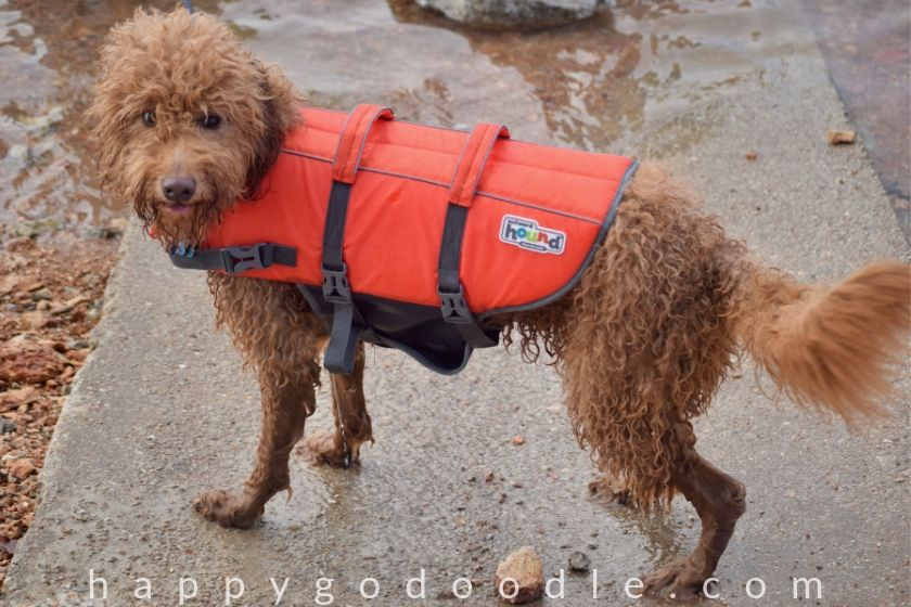 Curly-haired Goldendoodle wearing life vest by lake, photo