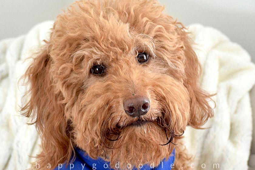 photo red goldendoodle dog head tilted
