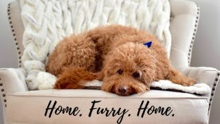 goldendoodle dog on white chair