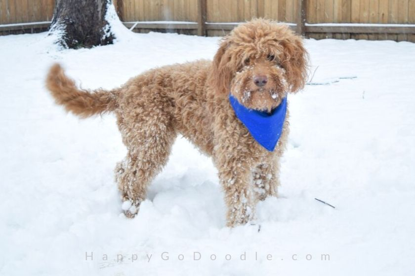 photo goldendoodle pup standing in wintry landscape with lots of snow