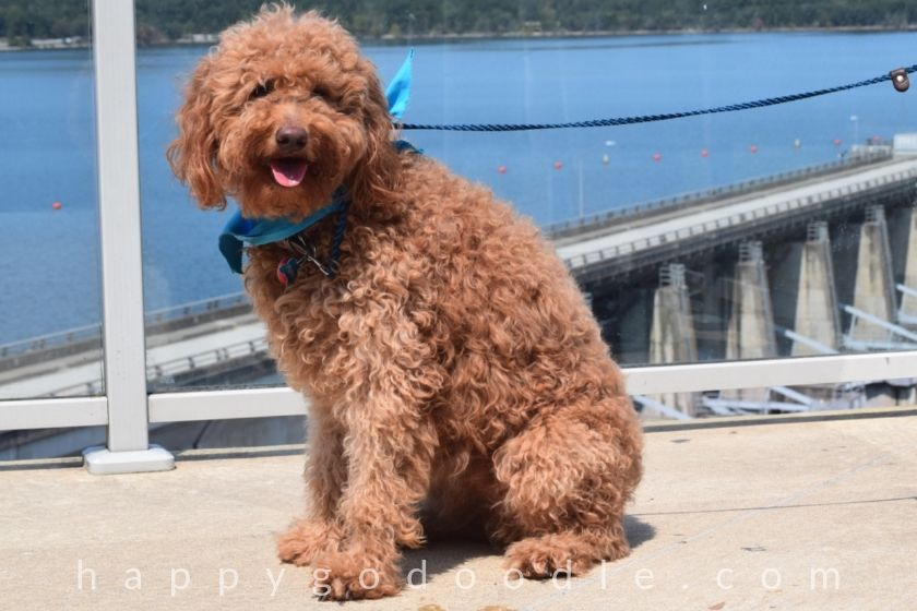 photo red goldendoodle dog in front of the damn in eureka springs area
