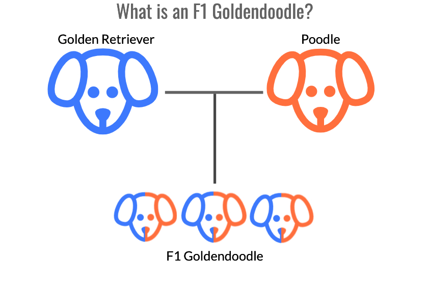 Diagram depicting the F1 Goldendoodle as a result of crossing a Golden Retriever and a Poodle