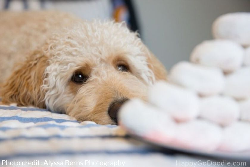 photo goldendoodle looking at christmas cookies