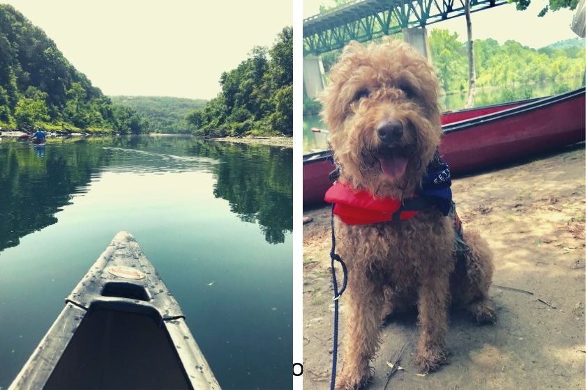 photo of red goldendoodle dog wearing life vest and canoe