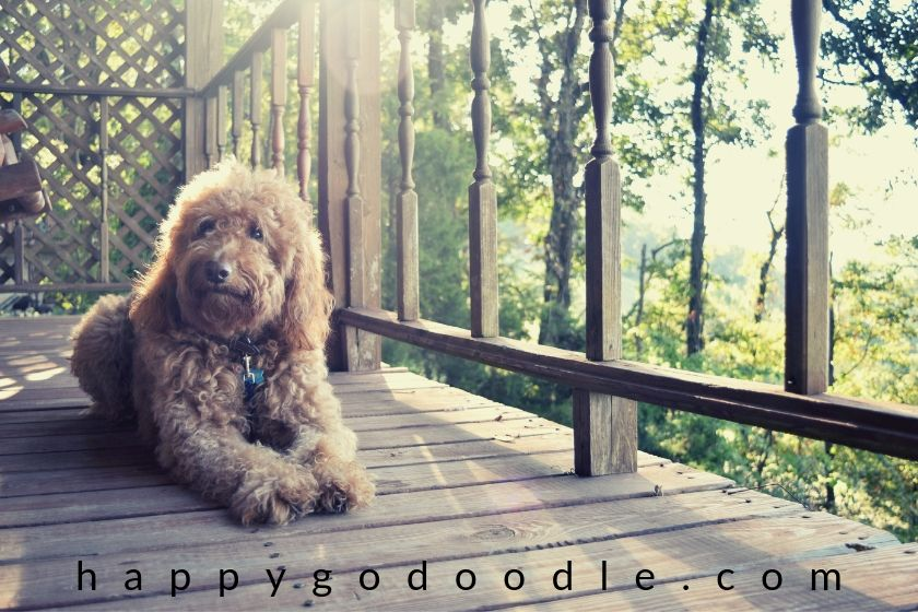 photo of red goldendoodle dog sitting on deck of dog-friendly cabins in eureka springs arkansas