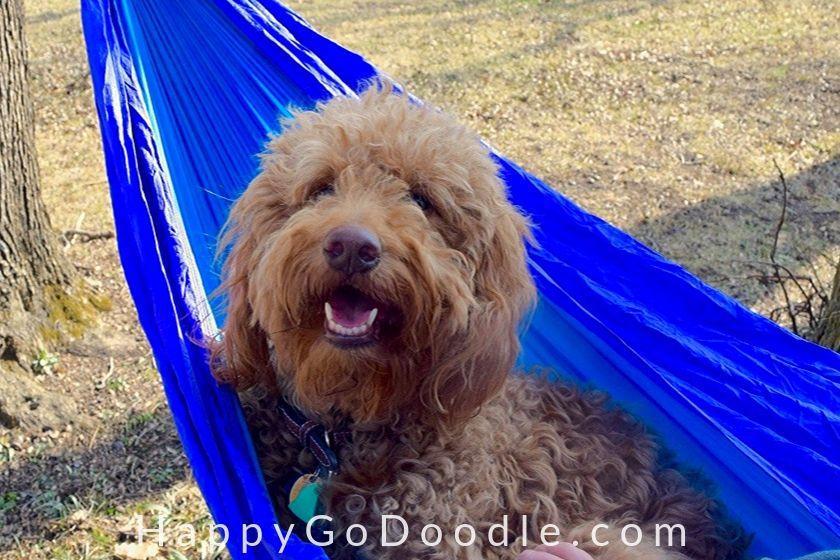 photo medium goldendoodle dog in a hammock