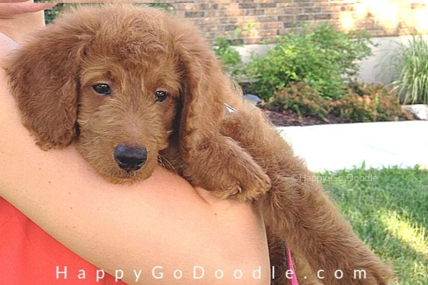 photo medium Goldendoodle puppy at 8 weeks old