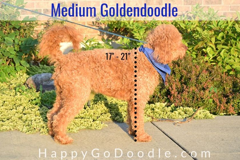 """photo side view of a medium Goldendoodle and line showing 17 to 21"""" high"""