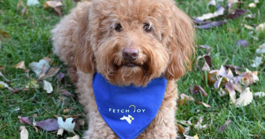 photo goldendoodle wearing blue dog bandana