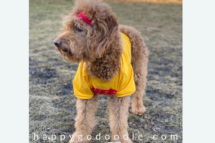 photo goldendoodle dog wearing mahomes shirt