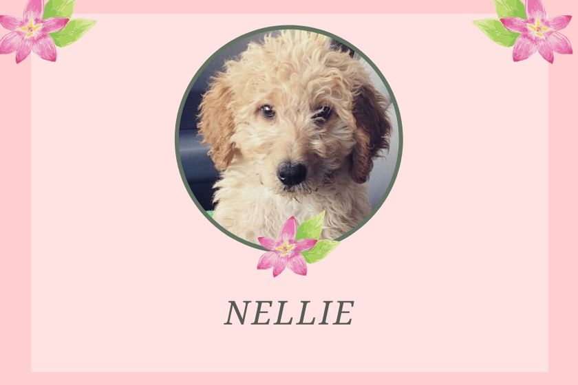 photo inset of a cream goldendoodle puppy with name nellie beneath on a pink background