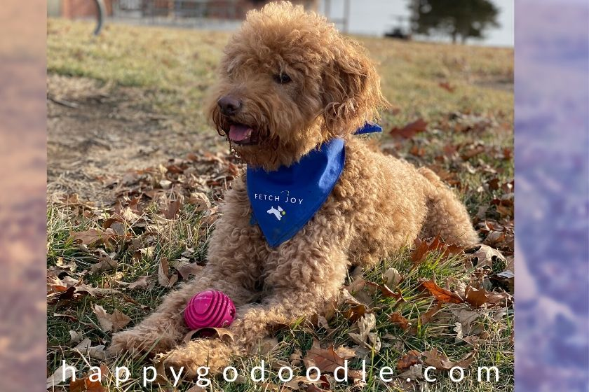 6-year-old Goldendoodle sitting in fall leaves wearing bandana and has a red ball. Photo.