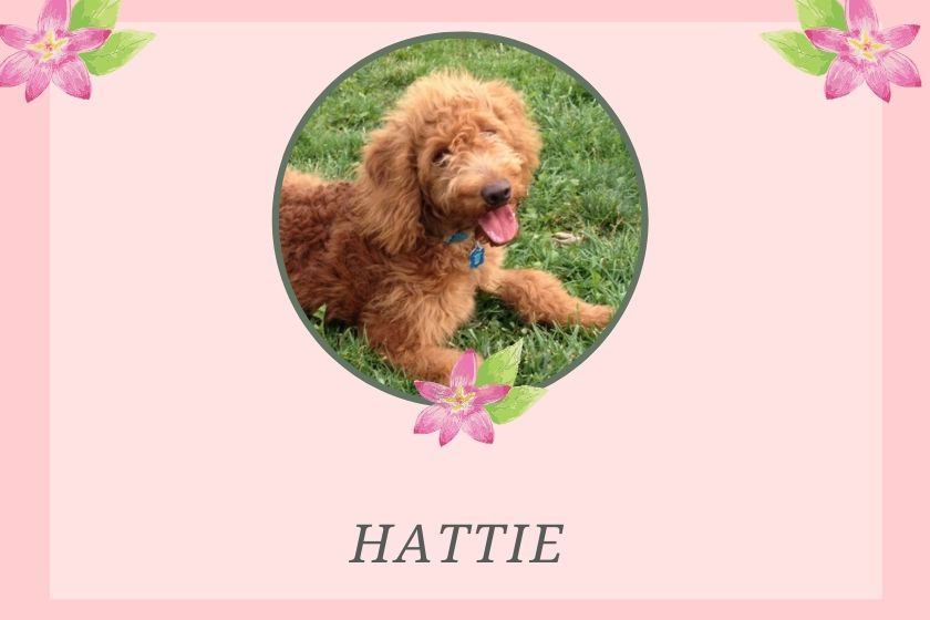 """red Goldendoodle puppy photo inset in a pink border with the Goldendoodle puppy name """"Hattie"""" under photo"""