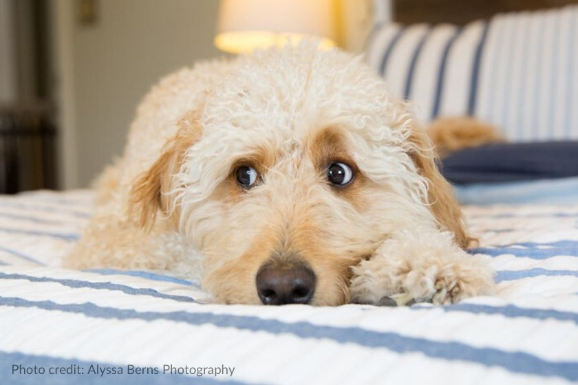 Cream colored Goldendoodle giving he side eye, photo