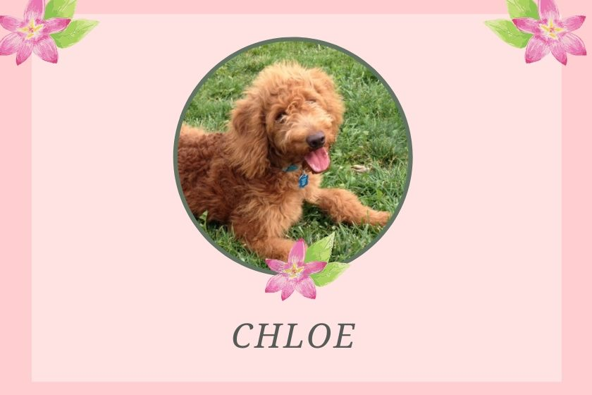 photo inset of red goldendoodle named chloe on pink background with flower