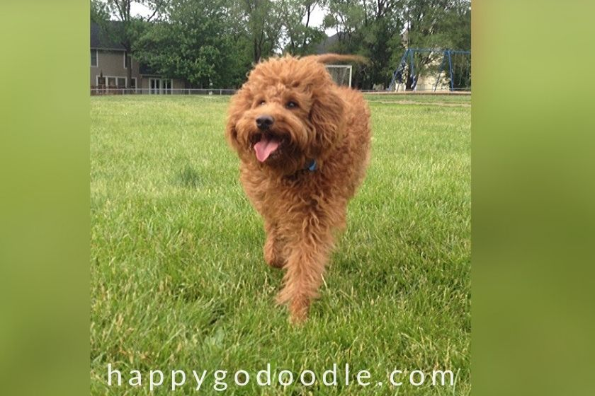 1-year-old Goldendoodle with tongue hanging out running in grass.