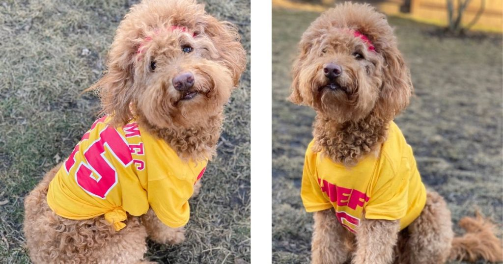 apricot Goldendoodle dog wearing a KC Chiefs football jersey and ready to play fetch as a fun fall activity for dog owners,  photo