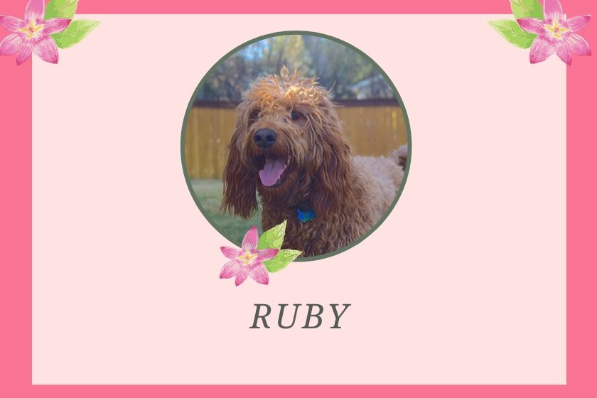 photo inset of red goldendoodle dog on pink and floral border
