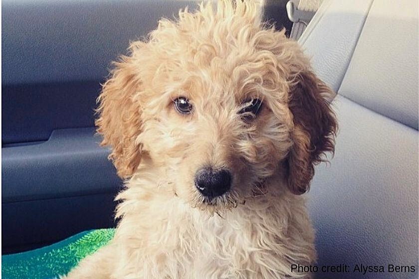 F1 Goldendoodle puppy face