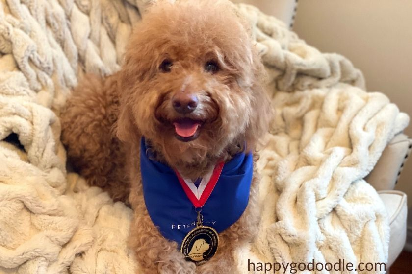 F1B Goldendoodle wearing medallion award