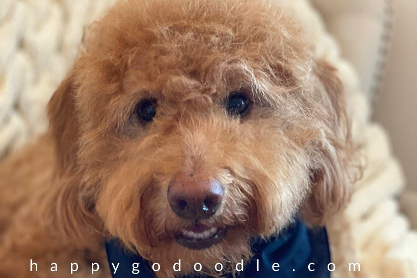 Medium, red Goldendoodle's face after grooming. Photo.