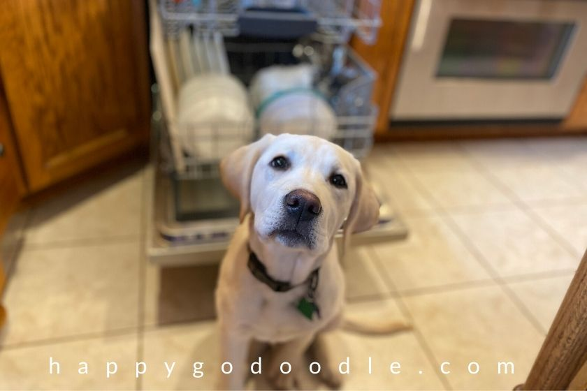labrador retriever puppy practicing obedience training and sitting in front of dishwasher. photo.
