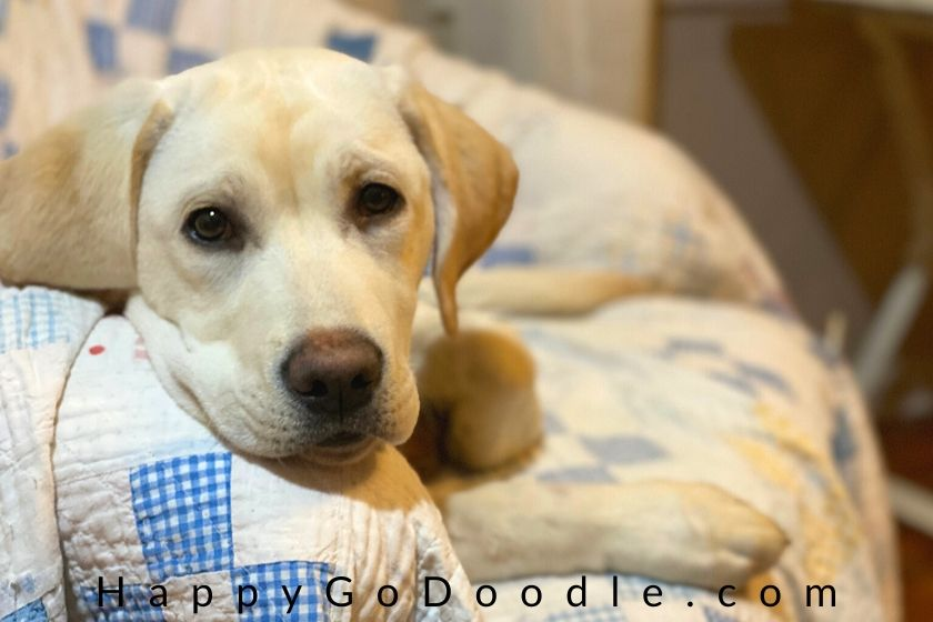 lab puppy face. photo.